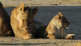 Λιονταρίνα με νέο cub απόθεμα βίντεο