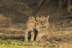 Λιονταρίνα με cub Στοκ Φωτογραφία