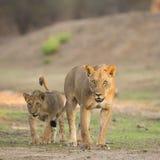 Λιονταρίνα με cub Στοκ φωτογραφία με δικαίωμα ελεύθερης χρήσης