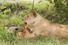 Λιονταρίνα με cubs (leo Panthera) στοκ φωτογραφία