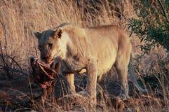 Λιονταρίνα ξημερωμάτων με την πιό wildebeest θανάτωση στο έθνος Pilanesberg στοκ φωτογραφίες