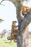 Λιονταρίνα που αναρριχείται στο δέντρο Στοκ Εικόνες