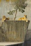 λιονταρίνα που στηρίζεται δύο Στοκ Εικόνες