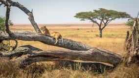 Λιονταρίνα που στηρίζεται σε ένα δέντρο, στο εθνικό πάρκο Serengeti, Τανζανία στοκ εικόνα