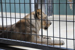 Λιονταρίνα σε ένα κλουβί Στοκ Εικόνες