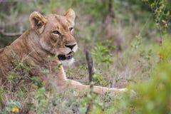 Λιονταρίνα στην άγρια Νότια Αφρική Στοκ εικόνα με δικαίωμα ελεύθερης χρήσης