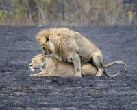 Λιονταρίνα στη θερμότητα και το ζευγάρωμα λιονταριών στον κρατήρα Ngorongoro Στοκ φωτογραφία με δικαίωμα ελεύθερης χρήσης