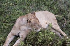 Λιονταρίνα στις χλόες, κρατήρας Ngorongoro, Τανζανία στοκ εικόνες με δικαίωμα ελεύθερης χρήσης
