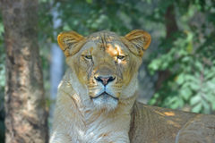 Λιονταρίνα στο ζωολογικό κήπο του Άκρον στο Οχάιο στοκ φωτογραφία