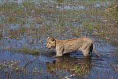 Λιονταρίνα της Μποτσουάνα στο νερό με την αντανάκλαση στοκ εικόνα