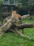 λιονταρίνα στοκ εικόνες με δικαίωμα ελεύθερης χρήσης