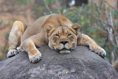 λιονταρίνα Στοκ φωτογραφία με δικαίωμα ελεύθερης χρήσης