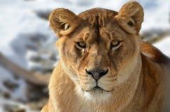 Λιονταρίνα, leo Panthera Στοκ Εικόνες