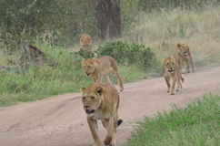 Λιονταρίνες και νέα λιοντάρια που περπατούν στη σαβάνα στο εθνικό πάρκο Serengeti Στοκ Εικόνες