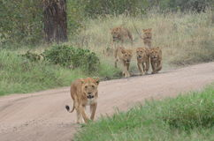 Λιονταρίνες και νέα λιοντάρια που περπατούν στη σαβάνα στο εθνικό πάρκο Serengeti Στοκ Φωτογραφία