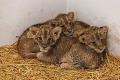 Λιονταρίνες 1 μωρών Στοκ φωτογραφία με δικαίωμα ελεύθερης χρήσης