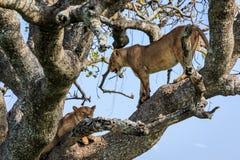 Λιονταρίνες σε ένα δέντρο Στοκ φωτογραφία με δικαίωμα ελεύθερης χρήσης