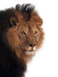Λιονταριών βασιλιάς των ζώων που απομονώνεται μεγάλος στο λευκό Στοκ εικόνα με δικαίωμα ελεύθερης χρήσης