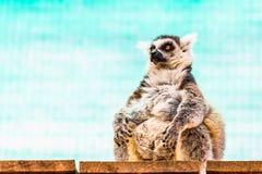 Λιπαρός αστείος κερκοπίθηκος στοκ φωτογραφία με δικαίωμα ελεύθερης χρήσης