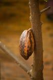 Λοβοί κακάου στο δέντρο, αγροτικό δέντρο κακάου Στοκ φωτογραφία με δικαίωμα ελεύθερης χρήσης