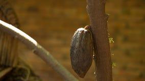 Λοβοί κακάου στο δέντρο, αγροτικό δέντρο κακάου Στοκ εικόνα με δικαίωμα ελεύθερης χρήσης