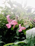 Λοβοί λουλουδιών και σπόρου βάλσαμου Himalayan στοκ εικόνα με δικαίωμα ελεύθερης χρήσης