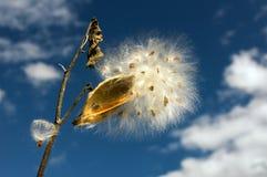 Λοβοί Milkweed Στοκ φωτογραφία με δικαίωμα ελεύθερης χρήσης