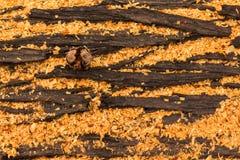 Λοβός φλοιών macrocarpa Cupressus Στοκ Φωτογραφία