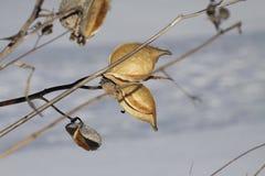 Λοβός Milkweed (Asclepias) ξηρός & έκρηξη Στοκ Φωτογραφία