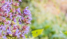 Λογικά λουλούδια officinalis εγκαταστάσεων ή salvia υπαίθρια στοκ φωτογραφίες