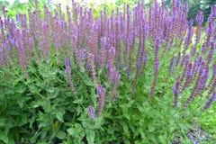 Λογικό nemorosa Λ Salvia nemorose , Βαθμός Ostfriesland Συνήθεια β στοκ εικόνες