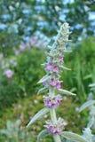 λογικό salvia φυτών στοκ φωτογραφίες