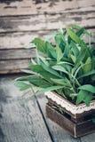 λογικό salvia officinalis πεδίων Λογικά φύλλα στον παλαιό ξύλινο πίνακα Φασκομηλιά κήπων Αγροτικό ξύλινο κιβώτιο και χειροποίητη  Στοκ Εικόνες