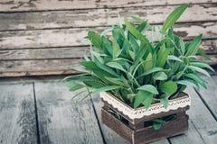 λογικό salvia officinalis πεδίων Λογικά φύλλα στον παλαιό ξύλινο πίνακα Φασκομηλιά κήπων Αγροτικό ξύλινο κιβώτιο και χειροποίητη  Στοκ Φωτογραφίες