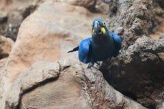 Λουλάκι macaw στοκ φωτογραφία με δικαίωμα ελεύθερης χρήσης
