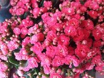 ΛΟΥΛΟΥΔΙΑ LITTLE RED Στοκ Εικόνες