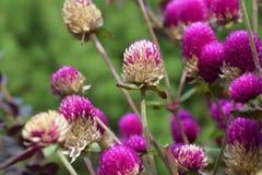 Λουλουδιών ουράνιων τόξων στο πάρκο Στοκ Εικόνες
