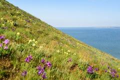Λουλούδια άγρια περιοχές ίριδων Σπάνια λουλούδια τομέων που απαριθμούνται στο κόκκινο βιβλίο Στοκ Φωτογραφίες