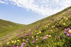 Λουλούδια άγρια περιοχές ίριδων Σπάνια λουλούδια τομέων που απαριθμούνται στο κόκκινο βιβλίο Στοκ εικόνες με δικαίωμα ελεύθερης χρήσης