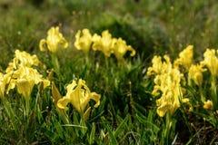 Λουλούδια άγρια περιοχές ίριδων Σπάνια λουλούδια τομέων που απαριθμούνται στο κόκκινο βιβλίο Στοκ εικόνα με δικαίωμα ελεύθερης χρήσης