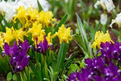 Λουλούδια άγρια περιοχές ίριδων Στοκ φωτογραφίες με δικαίωμα ελεύθερης χρήσης