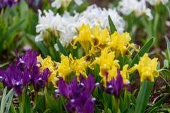 Λουλούδια άγρια περιοχές ίριδων Στοκ εικόνες με δικαίωμα ελεύθερης χρήσης