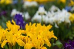 Λουλούδια άγρια περιοχές ίριδων Στοκ Εικόνα