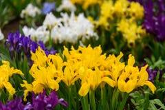 Λουλούδια άγρια περιοχές ίριδων Στοκ εικόνα με δικαίωμα ελεύθερης χρήσης