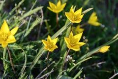 Λουλούδια άγρια περιοχές τουλιπών Σπάνια λουλούδια τομέων που απαριθμούνται στο κόκκινο βιβλίο στοκ εικόνες