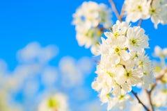 Λουλούδια άνοιξη ανθών της Apple πέρα από το μπλε ουρανό με το διάστημα αντιγράφων Στοκ Φωτογραφίες
