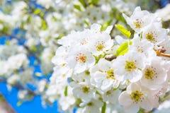 Λουλούδια άνοιξη ανθών της Apple πέρα από το μπλε ουρανό Στοκ Εικόνες