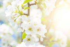 Λουλούδια άνοιξη ανθών της Apple πέρα από το μπλε ουρανό Στοκ Φωτογραφία