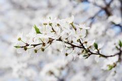 Λουλούδια άνοιξη δαμάσκηνων Στοκ Εικόνα
