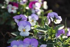 Λουλούδια άνοιξη σκέψεων στοκ φωτογραφίες με δικαίωμα ελεύθερης χρήσης